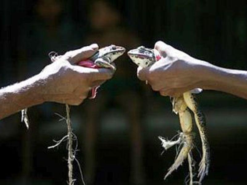 Frog Wedding in Varanasi