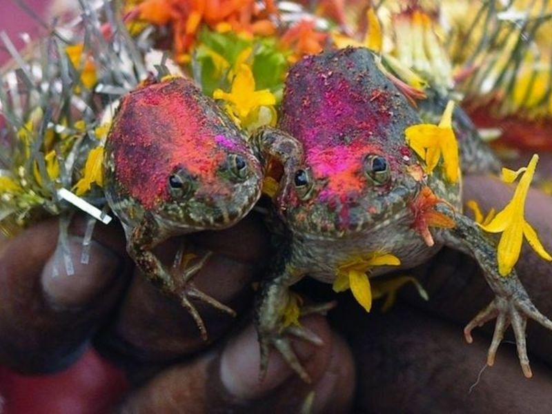 Frog Marriage in Varanasi